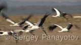 Video of White Stork - Flying White Stork in Bulgaria